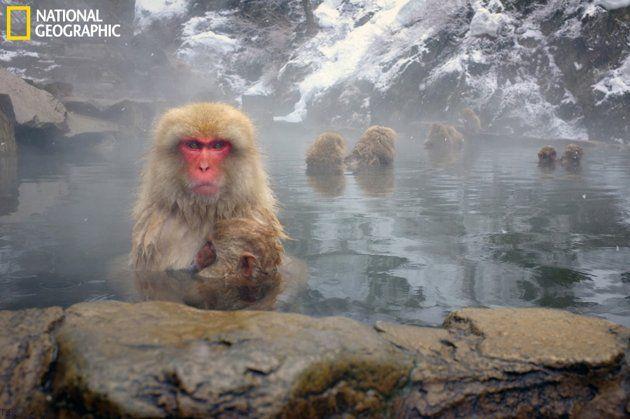 A resident snow monkey bathing with her infant at Yudanaka's snow monkey park, near Nagano, Japan.