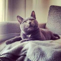 Adopt Percy on Russian blue, Cats, kittens, Grey cats