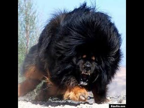 caucasian russian shepherd dog bear dog mans best