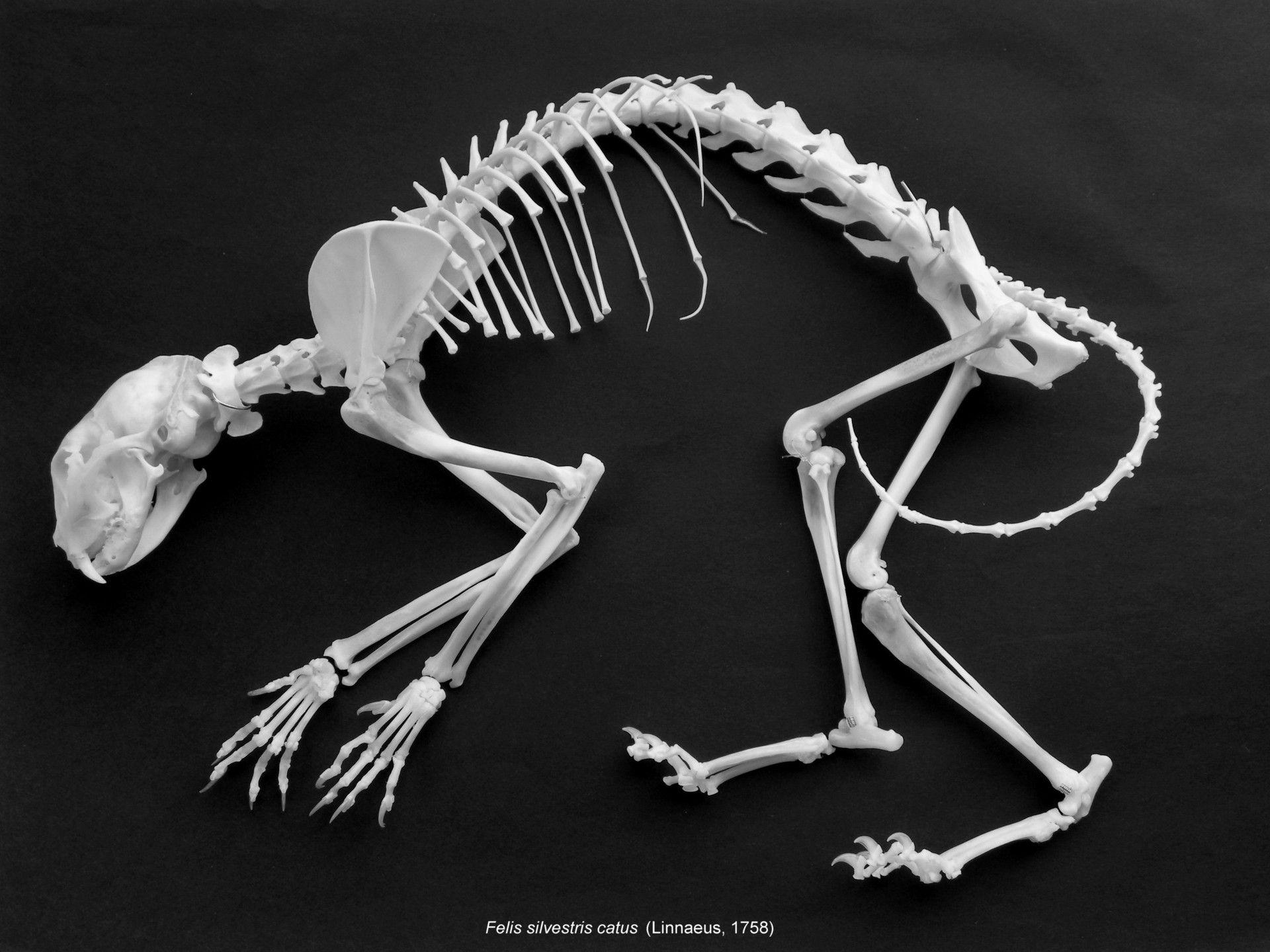 獣医のための標本 骨格標本室から 骨格標本 猫 骨格 動物解剖学