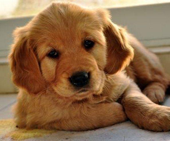 Adorable Cute Golden Retriever Puppy Golden Retriever Puppy