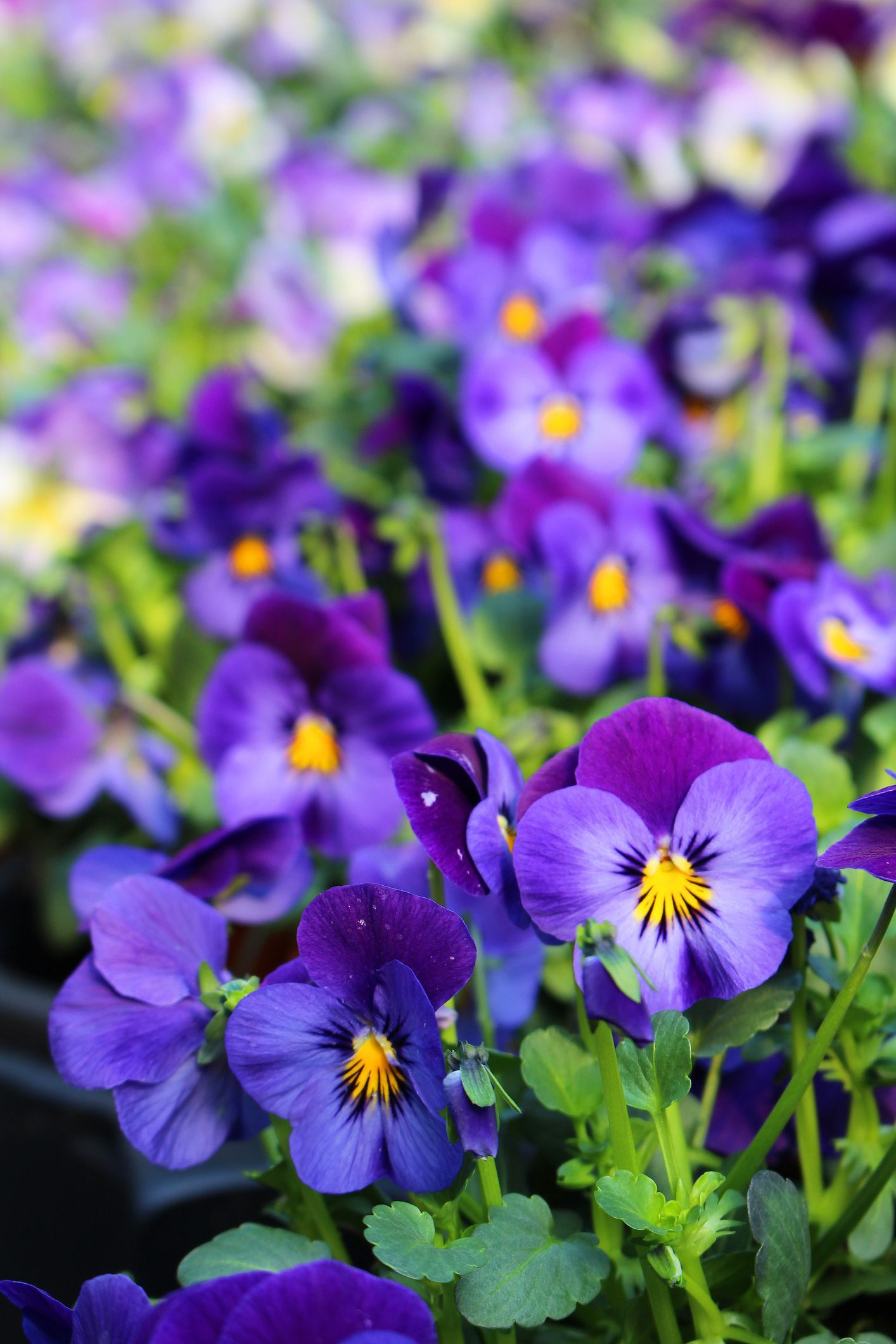 These Flowers Actually Bloom In Winter So You Can Garden Year Round Winter Flowers Winter Flowers Garden Winter Pansies