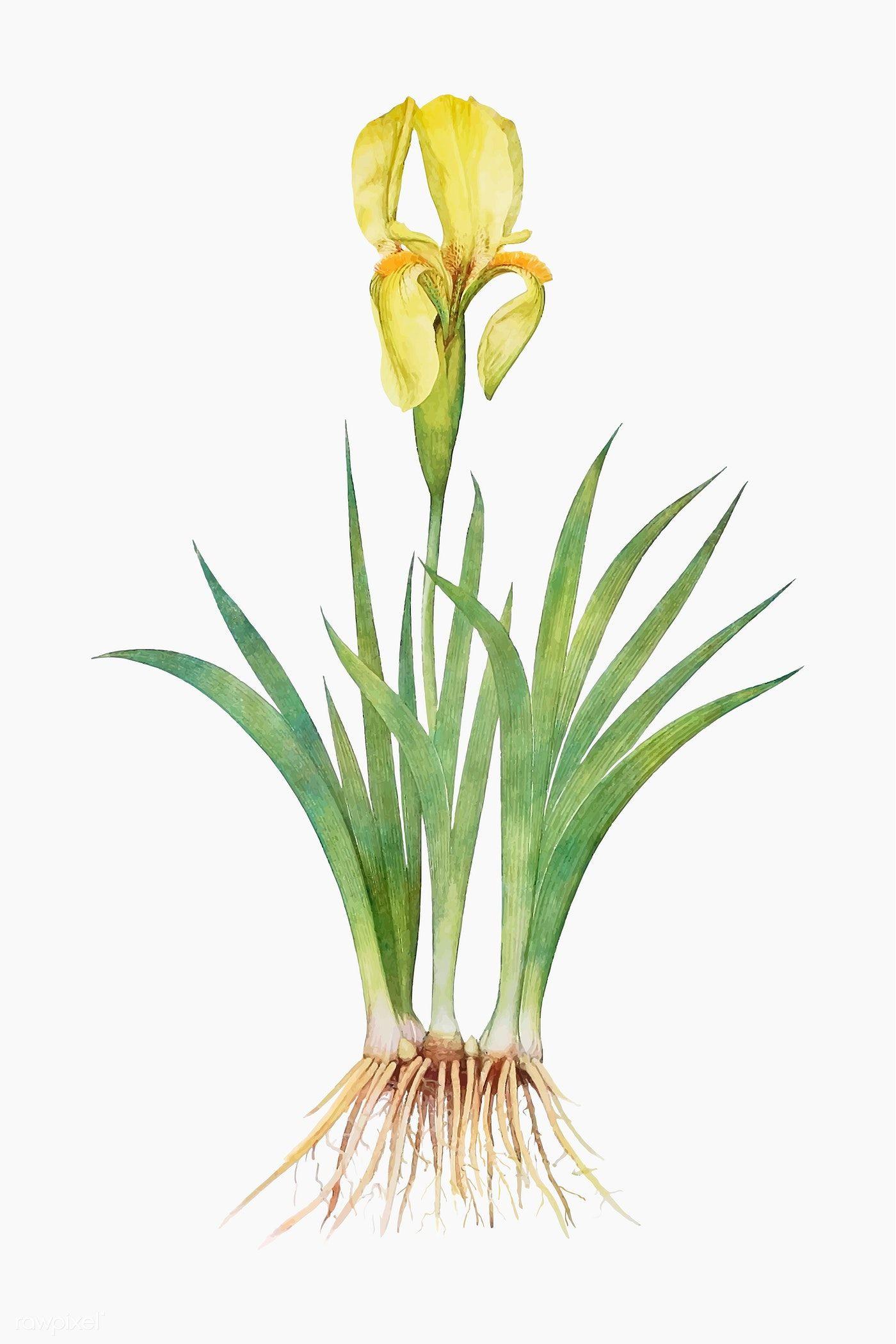 Download Premium Vector Of Vintage Iris Flower Illustration Vector 2098218 In 2020 Flower Illustration Iris Flowers Botanical Watercolor