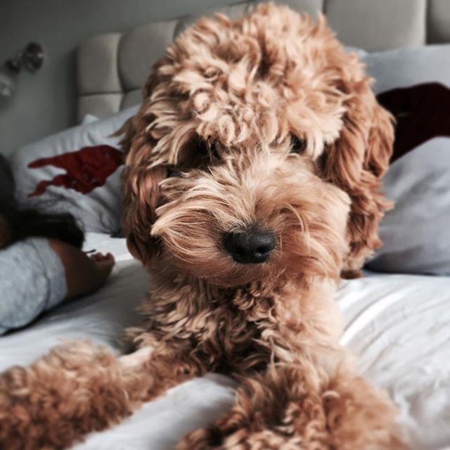 My Little Pup Is 1 Year Old Cockapoo Ginger Teddybear Cockapoo Puppies Puppies Cockapoo