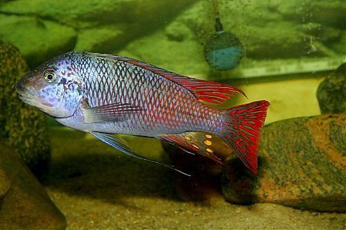 Картинки по запросу Petrochromis sp. Texas