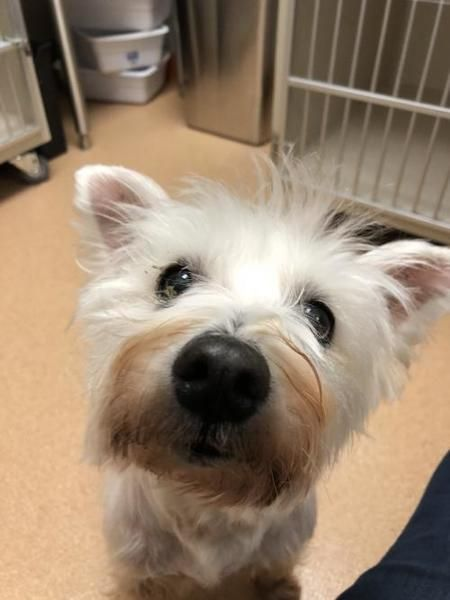 West+Highland+White+Terrier+Dog+For+Adoption+In+Seattle