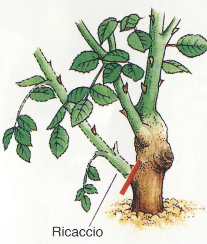Come potare le rose cura delle rose cura delle piante for Piante grasse ornamentali