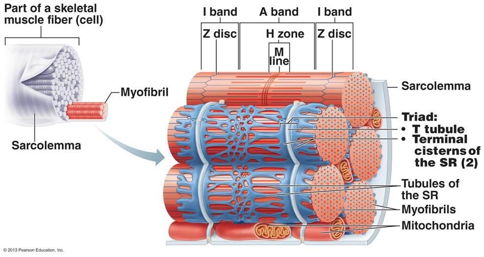 Neuromuscular Junction Model Labeled Muscular System Anatomy And Physiology Muscle