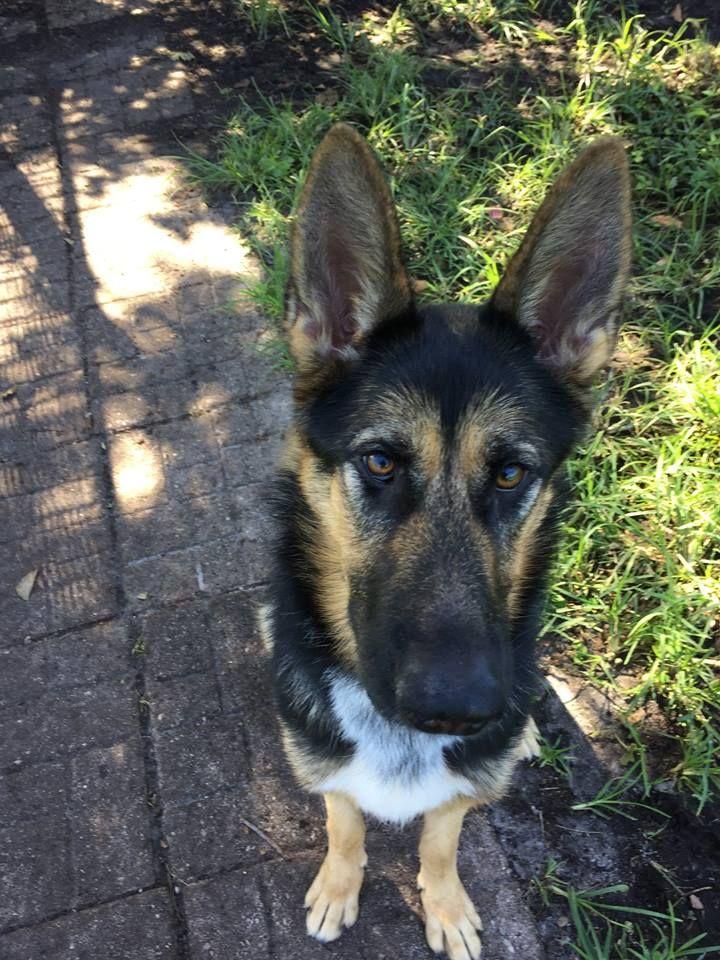 German Shepherd Dog dog for Adoption in Coral Springs, FL