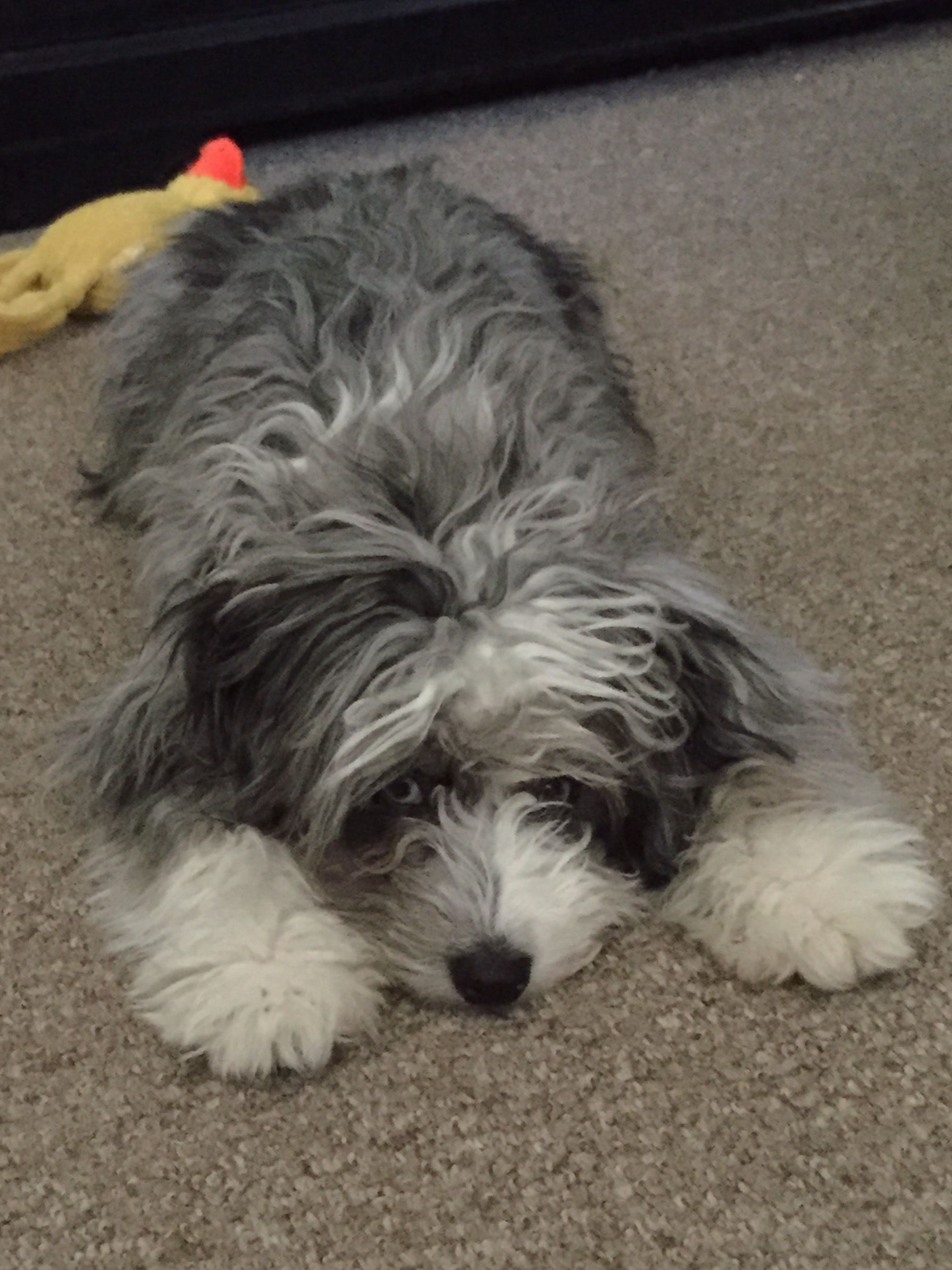 Mini aussiedoodle this is Ruby Scruffy dogs