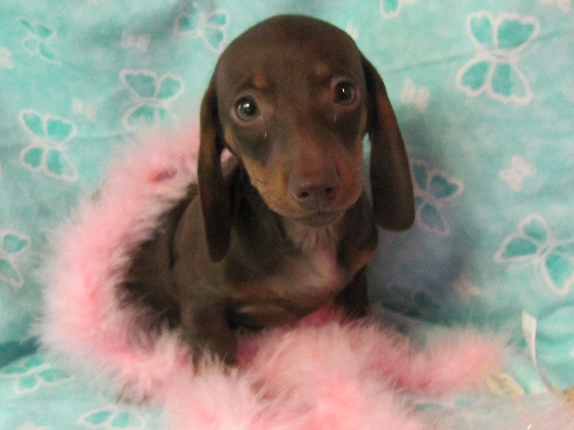 Pin By Beth Finney On Animals And Creatures Dapple Dachshund