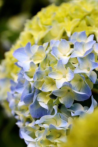 Hydrangea: a beautiful summer palette inspiration