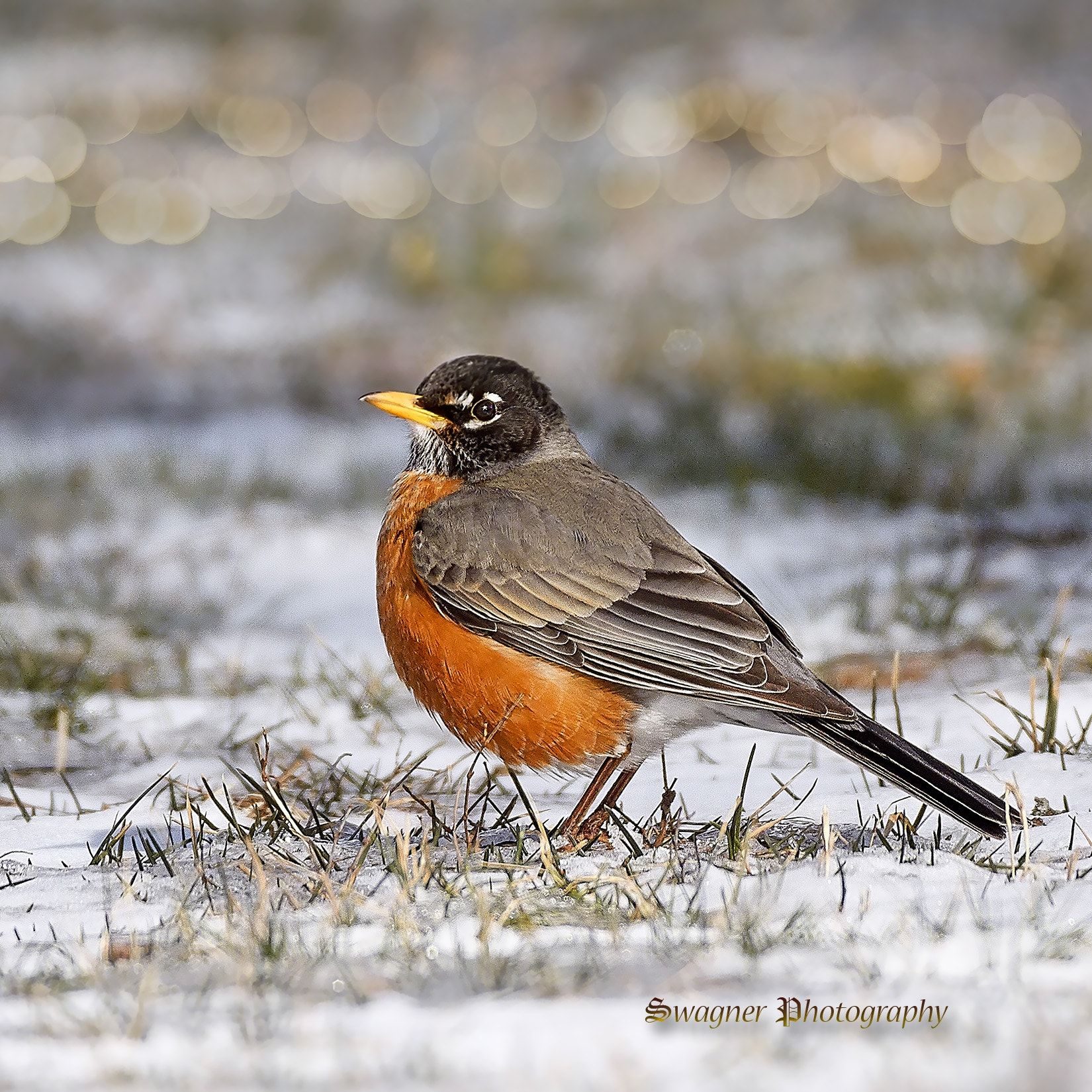 Winter Robin Robin Standing On The Snow Covered Ground Patiently