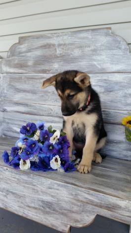 Beautiful Springtime Puppy German Shepherd Puppies Shepherd Puppies Yorkshire Terrier Puppies