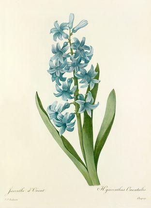 Pierre Joseph Redouté -- Jacinthe d'Orient : Hyacinthus Orientalis -- Pierre-Joseph Redouté -- Artists -- RHS Prints
