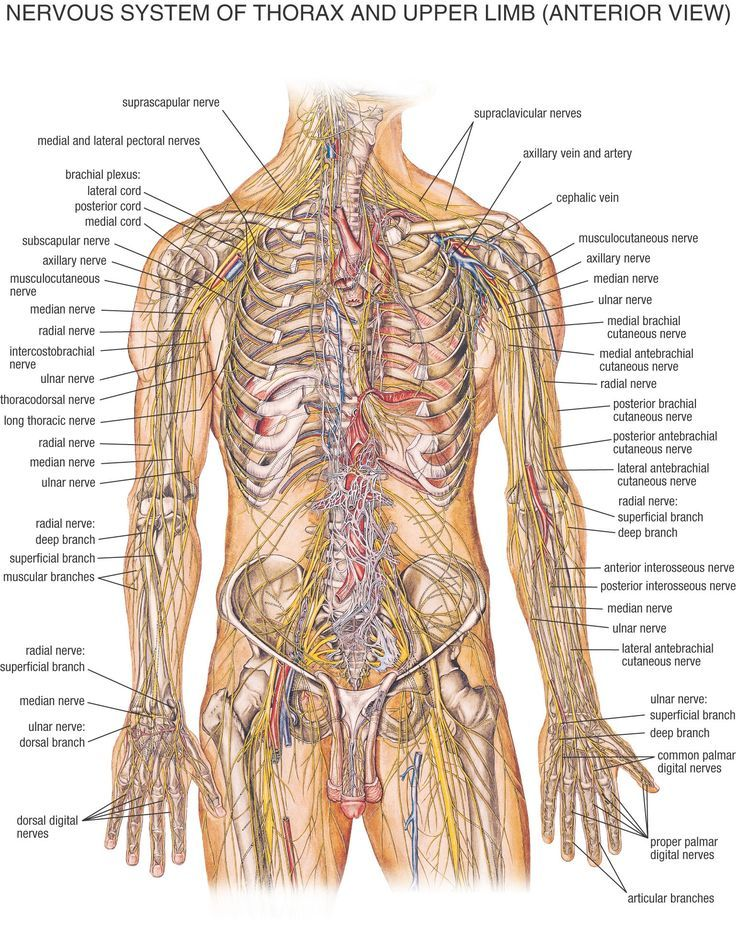 Nervous system of the thorax and upper limb anterior view diagram nervous system of the thorax and upper limb anterior view diagram anatomynote ccuart Gallery