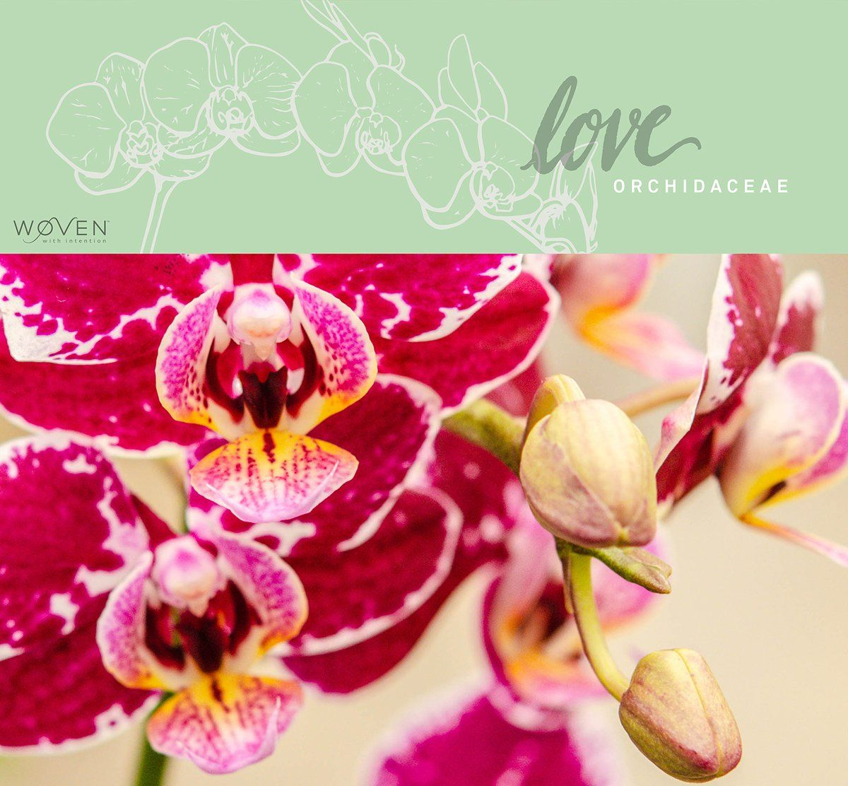 Love The Orchid Orchidaceae Orchids Orchidaceae Moth Orchid