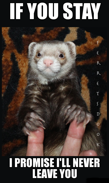 pin ferret meme on - photo #40