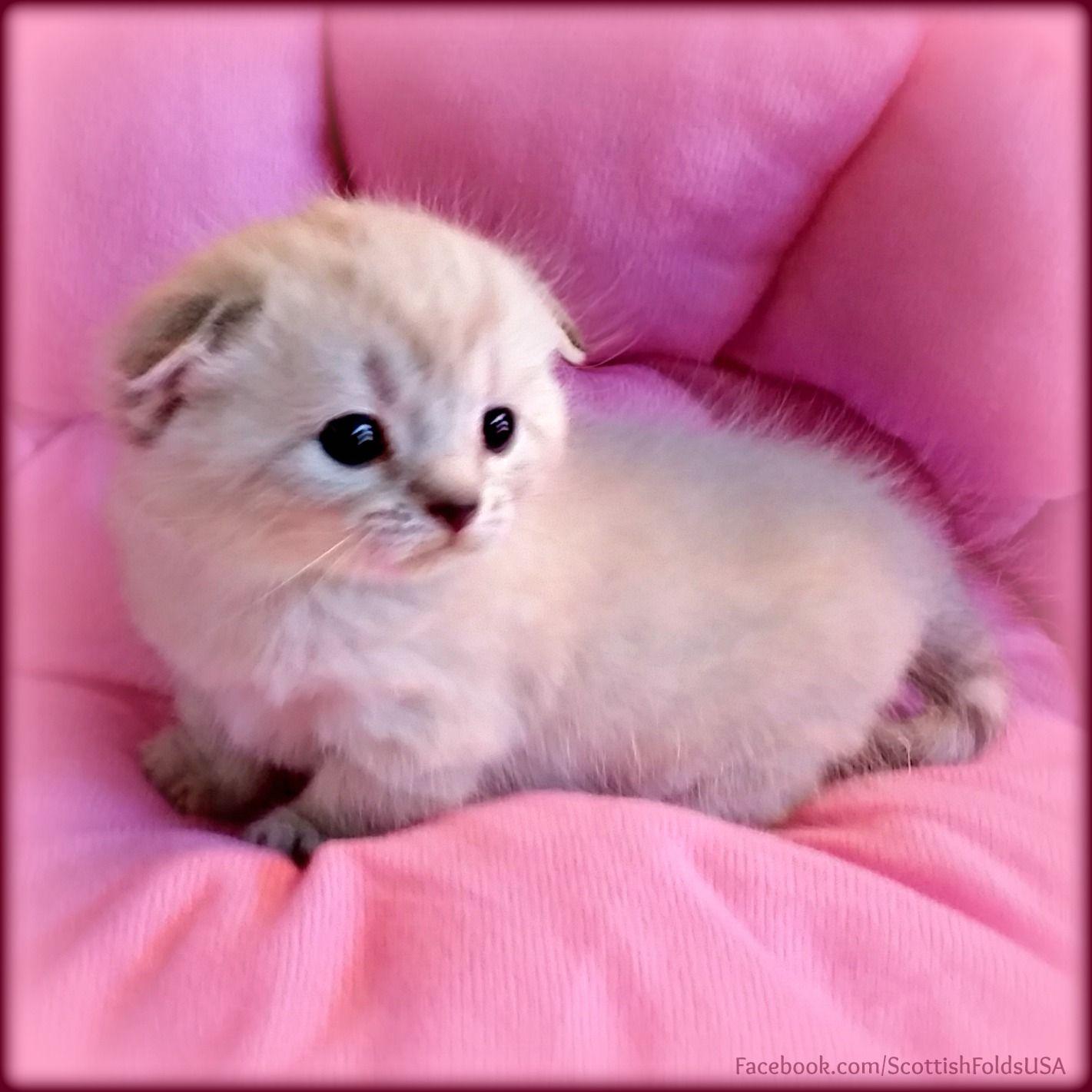 Scottish Fold Munchkin Cat Scottish Kilt Cat Standard Scottish Kilt Kitten Lovingfolds Melt My Heart Aka Animals Munchkin Cat Scottish Fold Kittens Cutest