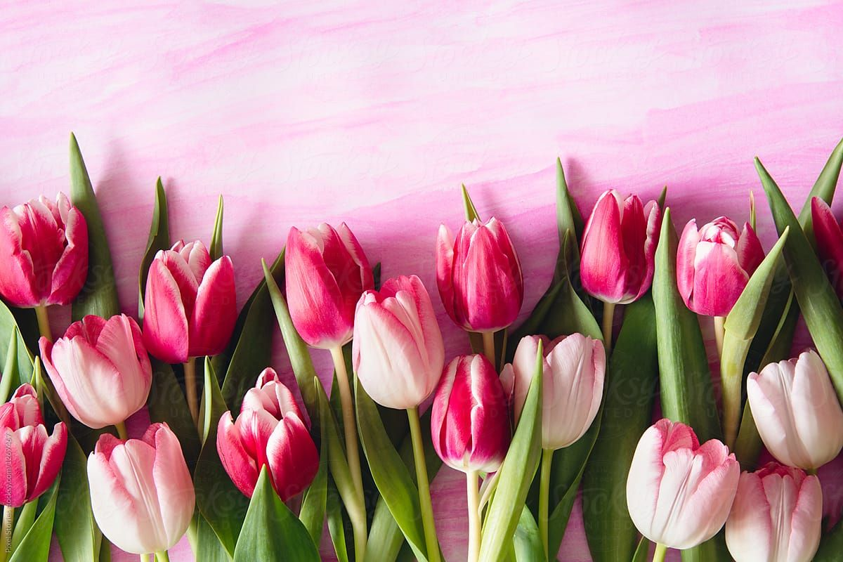 Pink Shade Tulips On Watercolor Background By Pixel Stories For Stocksy United Facebook Flower Facebook Cover Photos Flowers Flower Wallpaper