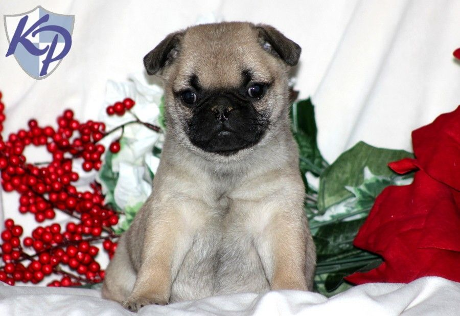Pug Mix Puppies For Sale Pug Mix Pugs Puppies For Sale