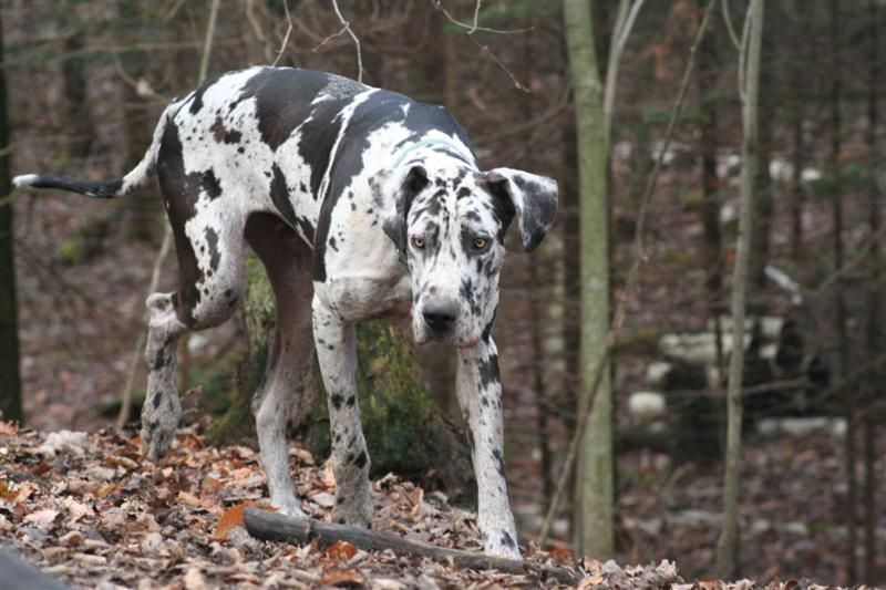 Adopt Bhrr S Treasure On Great Dane Dogs Dogs Dogs Up For Adoption
