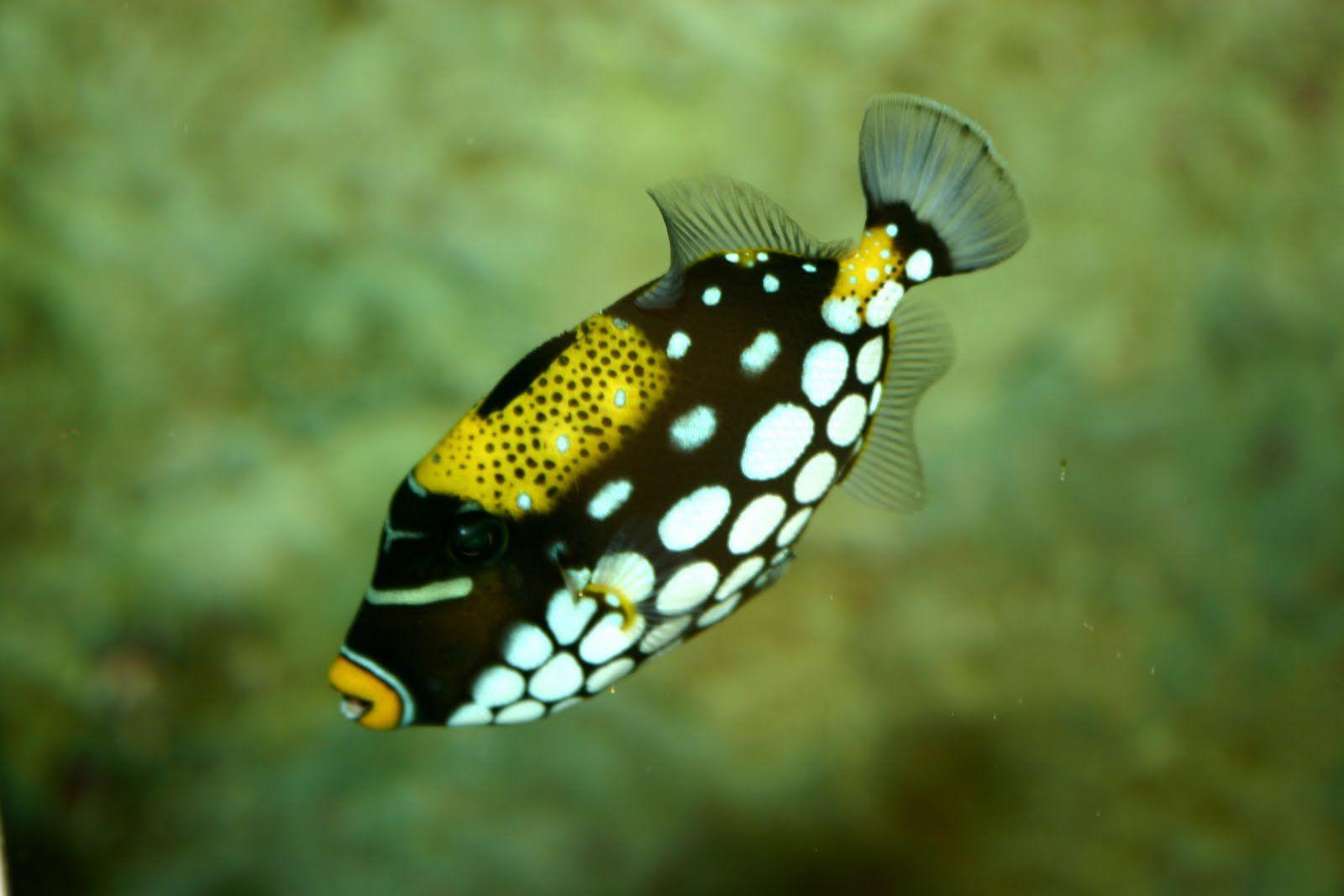 Fish With Yellow Stripes Freshwater Pesquisa Do Google Tropical Fish Marine Fish Fish