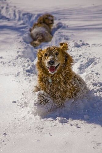 Golden Retrievers Dogs that Love the Snow