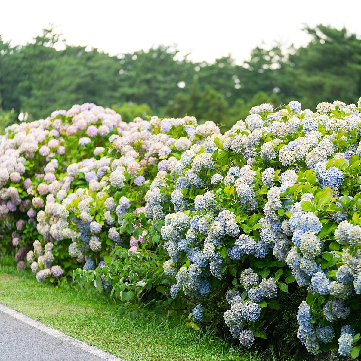 Five Mistakes You Re Making With Your Hydrangeas In 2020 Rose Like Flowers Planting Hydrangeas Types Of Hydrangeas