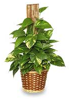 house plants identify by pic plant care information for the house plants shown below - Flowering House Plants Identification