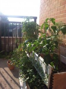 Here's my own urban garden, not looking too hot with all the heat haha. Used dresser drawers as planters. Hipster.
