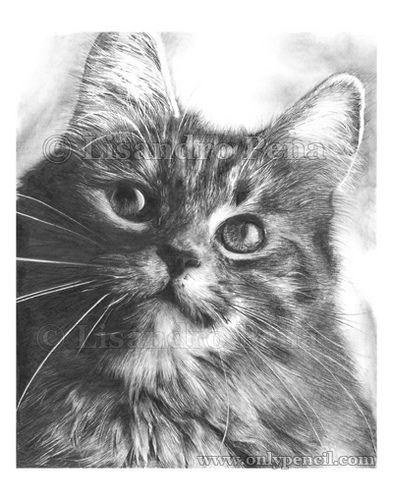 Soulfulmaine coon pencil drawing by onlypencil via flickr