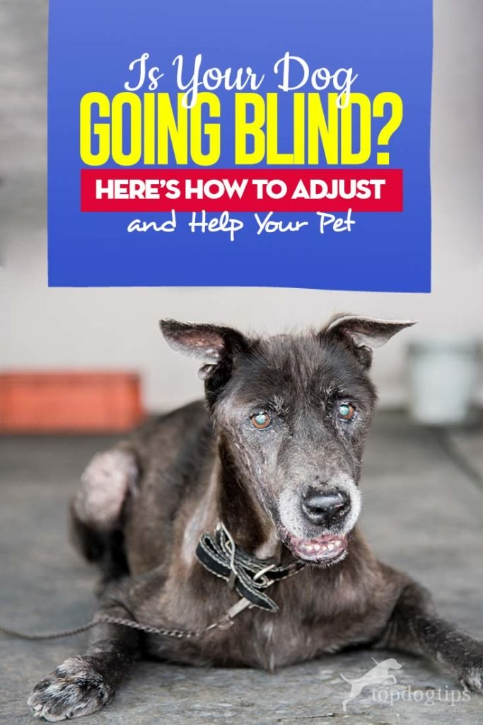 Dog Going Blind How To Adjust And Help Your Blind Pet Going
