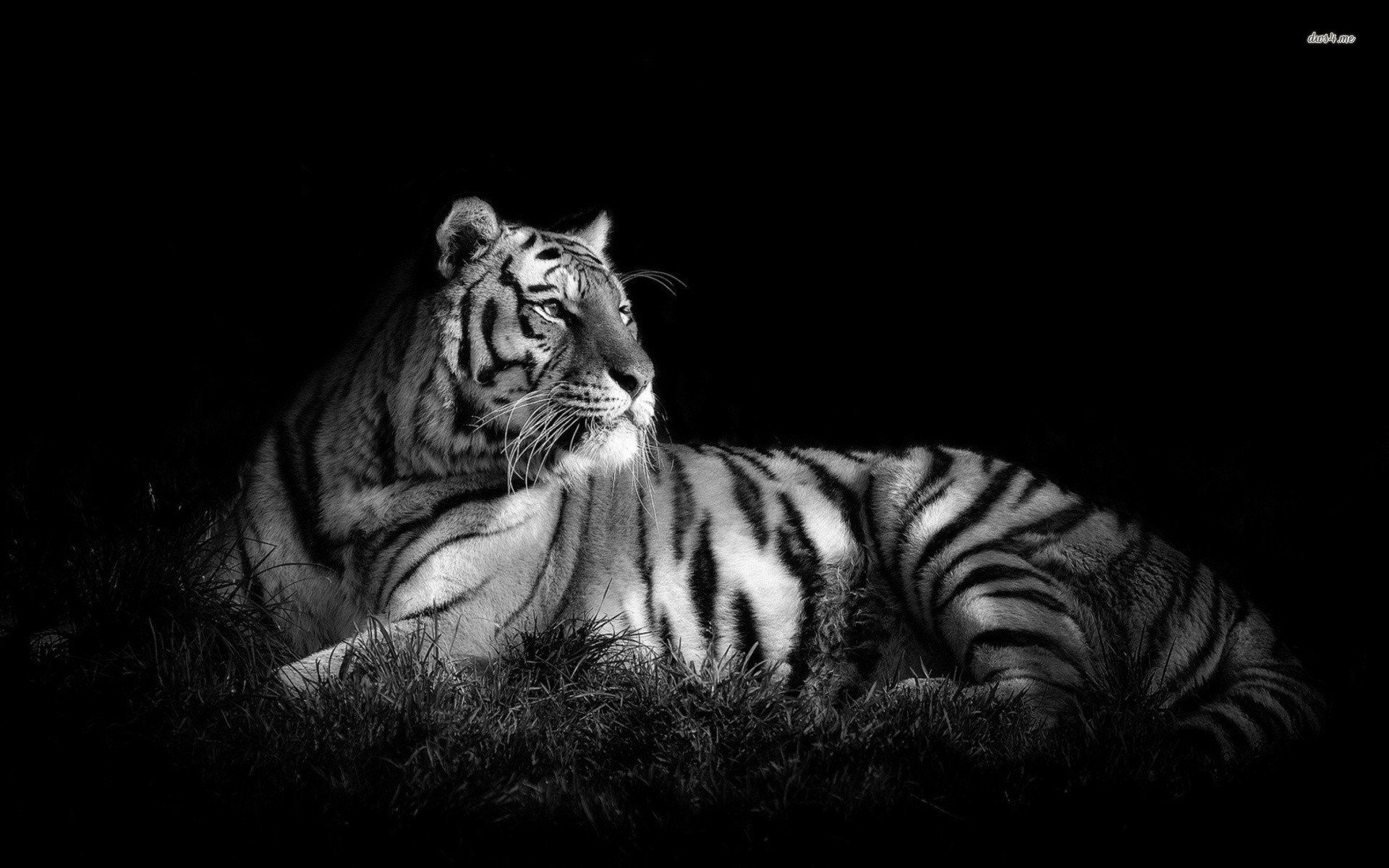 Tiger In Black White Pc Wallpaper Black And White Tiger Hd In Animal Wallpapers Was Added