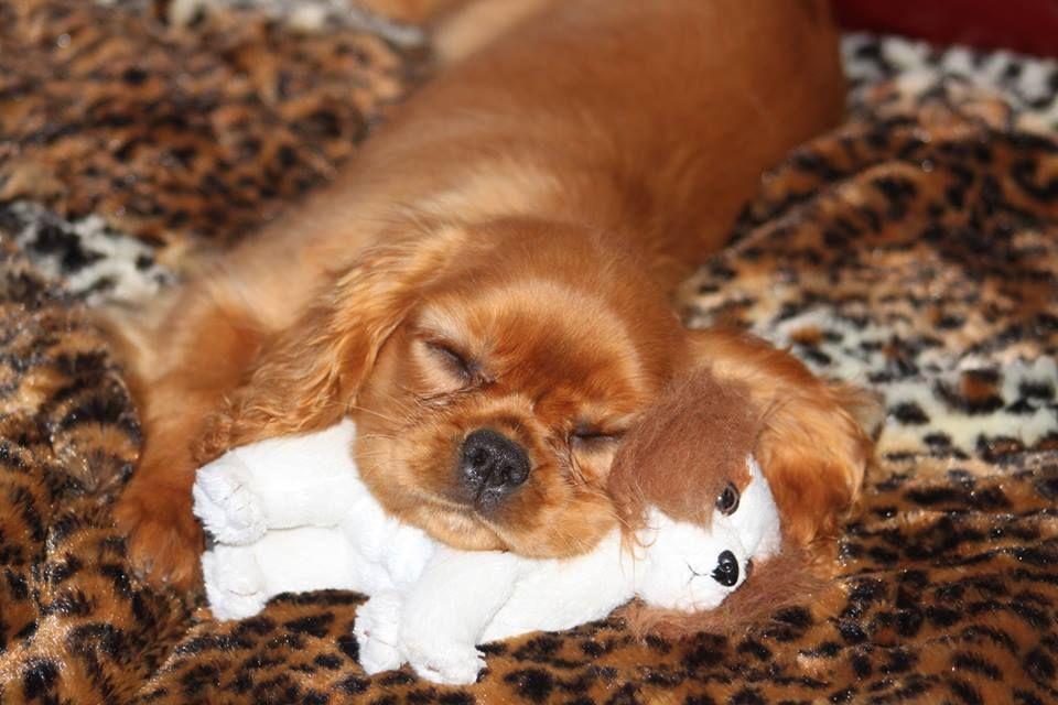 Awwww Muffin King Charles Cavalier Spaniel Puppy Cavalier King Charles Cavalier King Charles Spaniel