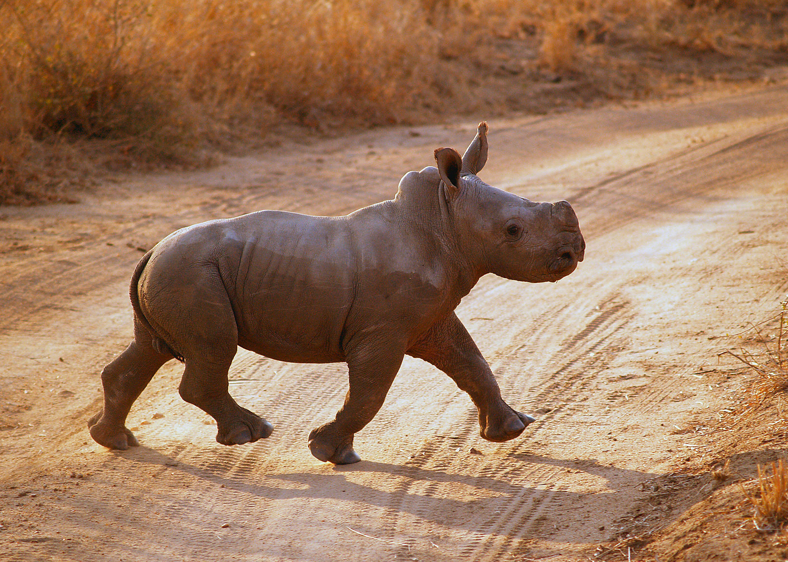 A baby rhino trots proudly behind his much larger and very ...