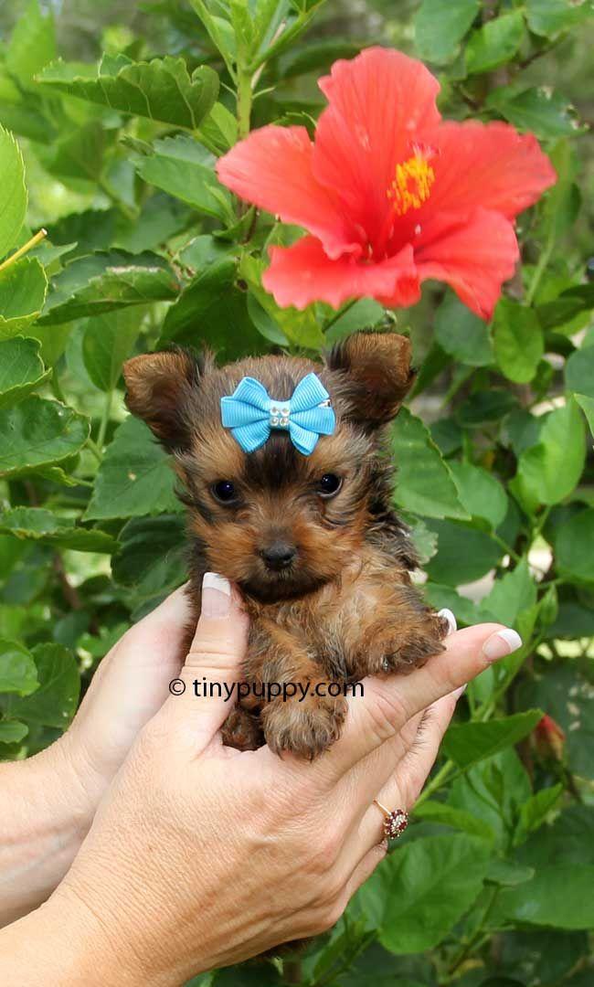 Micro Golden Sable Yorkie – Tiny Reese | tinypuppy.
