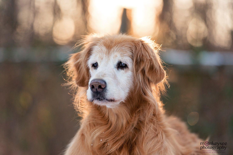 senior golden retriever in winter sunset raleigh nc Dog