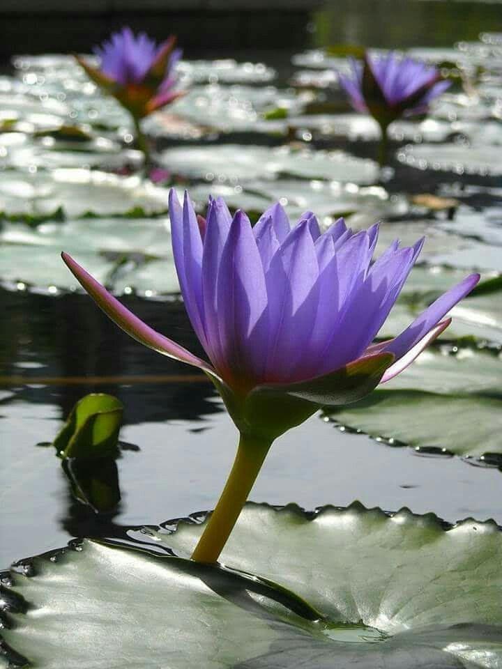 ปักพินโดย Mona Moni ใน Lotus (มีรูปภาพ)   ดอกบัว