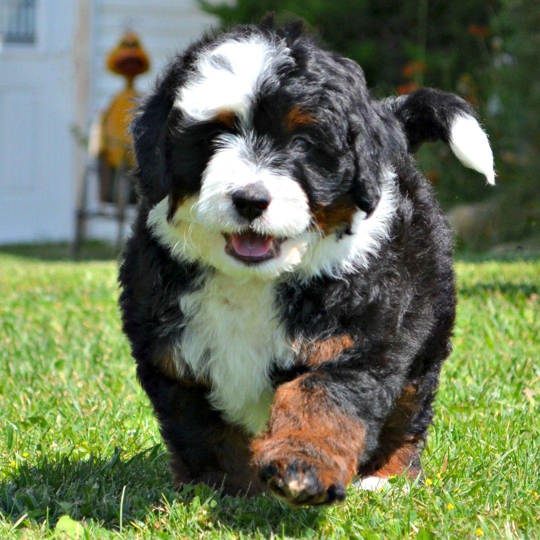 Tricolor Bernedoodle Doodle Dog Breeds Bernedoodle Puppy Bernese Mountain Dog Poodle