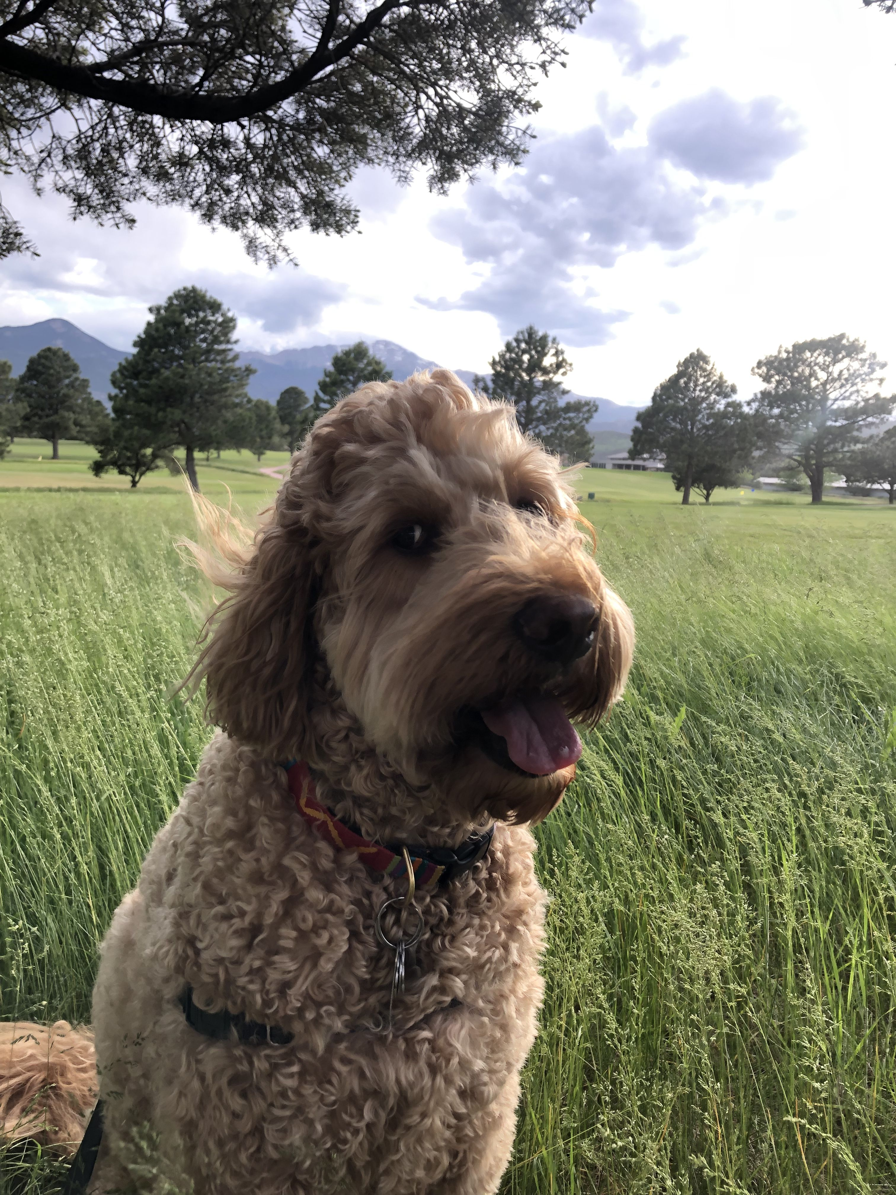 Wouldn T Sit Still For A Second Pikespeak Ellathegoldendoodle