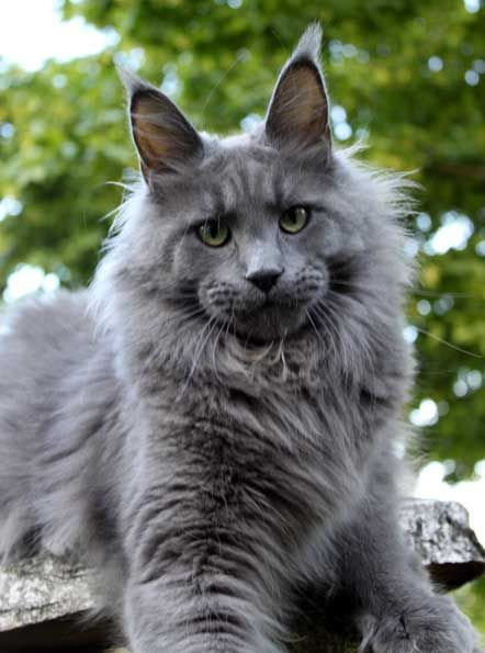 Pin Auf Majestic Maine Coon
