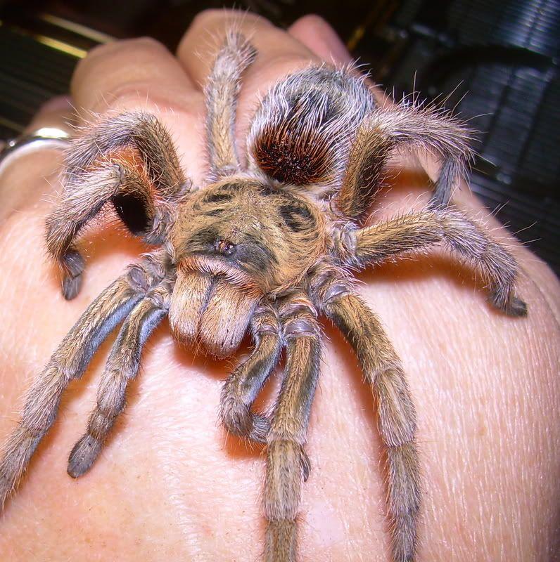 Paraphysa Parvula I Want 1 Sooo Bad But Ry Will Divorce Me Lol Arachnids Amazing Spider Spider