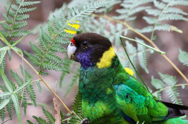 Port Lincoln Parrot | Dog breeds | Parrot, Birds, Animals