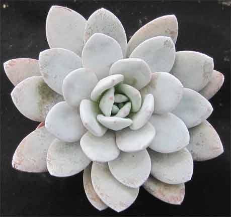 Echeveria lauii.  No water in winter!