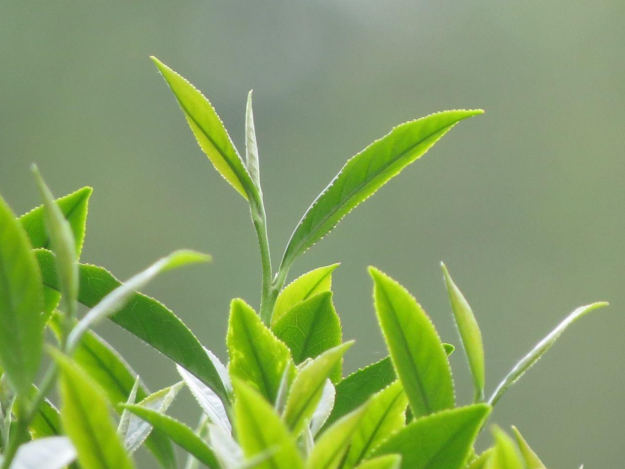 2014 Spring Oolong Tea @ Taiwan