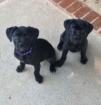 Litter Of 2 Cane Corso Puppies For Sale In Redding Ca Adn 43316 On Puppyfinder Com Gender Female Age 11 Wee Cane Corso Puppies Cane Corso Puppies For Sale