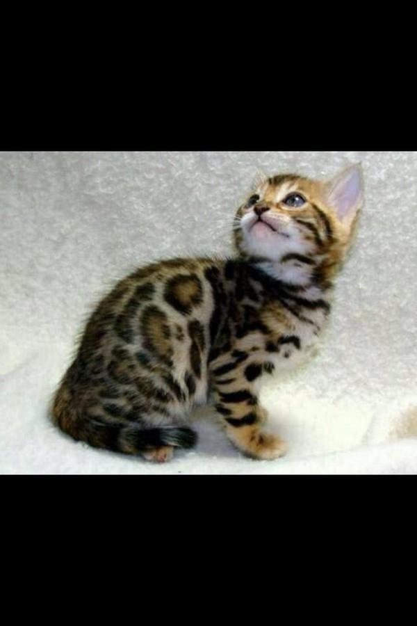Cute Kittens On Bengal Kitten Kittens Cutest Asian Leopard Cat
