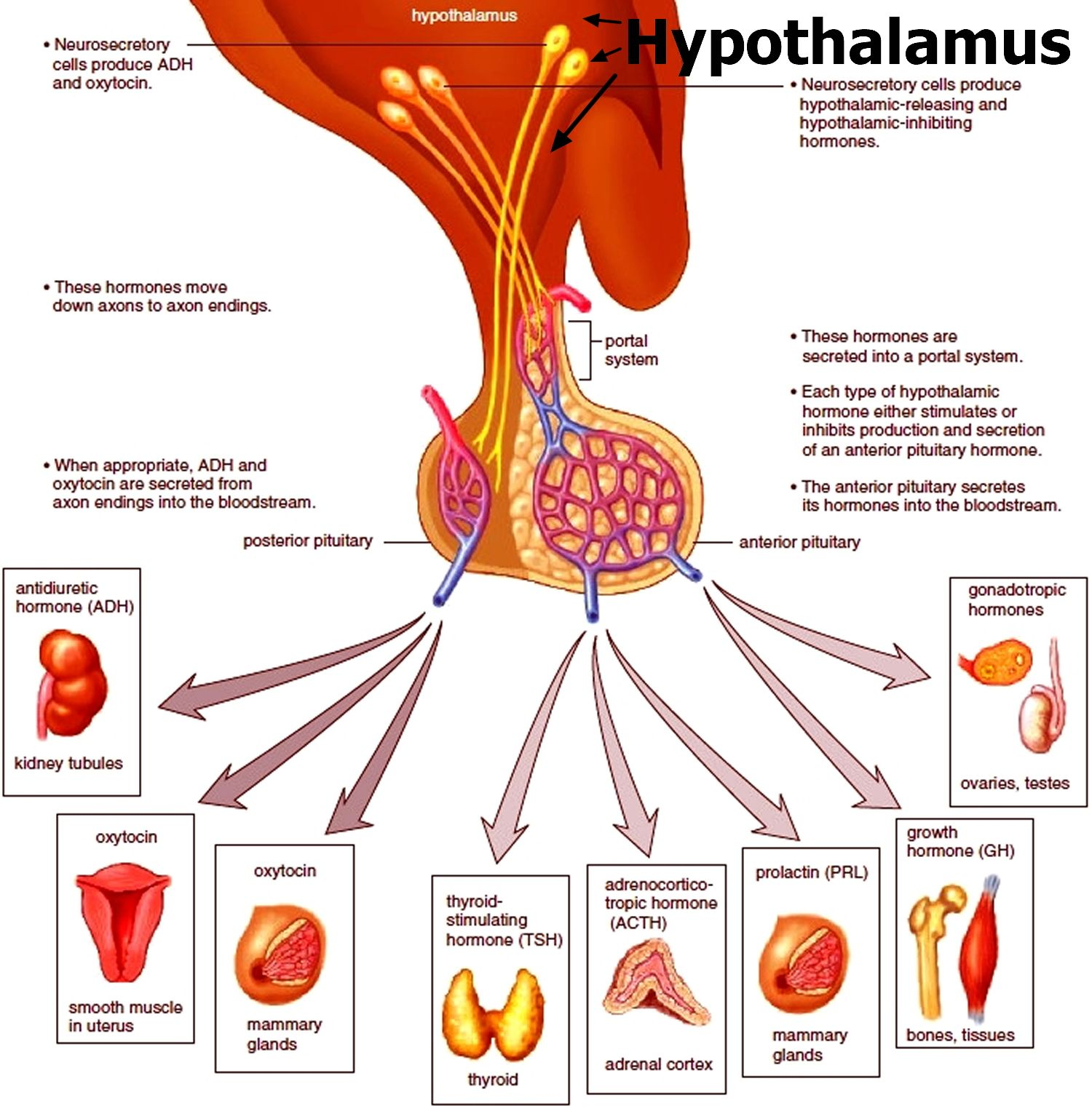 Pin by Gabriela Catalan on School Notes | Endocrine system ...