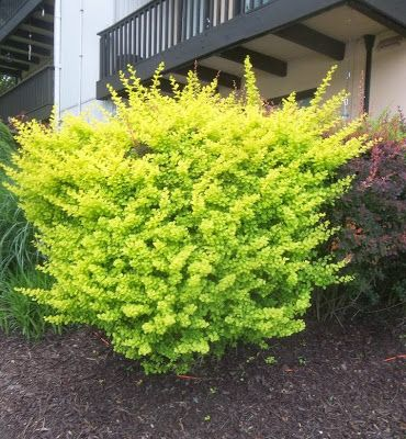 Golden Nugget Dwarf Japanese Barberry - Google Search ...